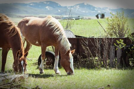 Two horses are grazing next to a rusty vintage cart, as the sun casts light on their manes on this beautiful Spring day. Stock Photo
