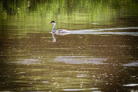 A Clarks Grebe floats peacefully across the water of a murky lake, with bright reflections of green lakeside grass. This water fowl spends large amounts of time underwater searching for food, which it pierces with its sharp pointed beak.
