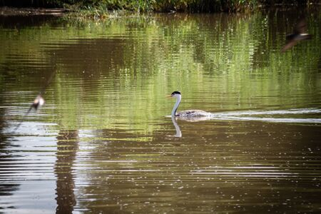 A Clark's Grebe surfaces for a moment above the water of a lake, surrounded by flying Barn Swallows, before diving back underwater in search of food. This water fowl stayed underwater for an amazingly long time.