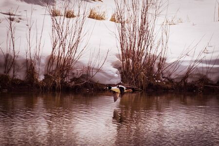 A Golden-eye duck flies over a pond, as it's image reflects in the water. Snow-covered banks and grasses surround the pond in winter-time.