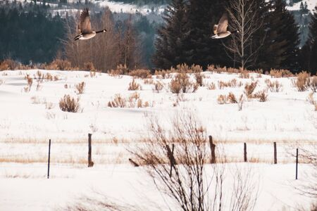 A male goose follows his mate, as they both fly over a rural snow-covered field in Winter. Stock Photo