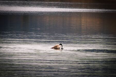 After a long wait, watching their mating ritual unfold, two geese finally mate in the calm, rippling water of a  pretty lake.