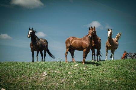 Four horses stand on a grassy hill against a blue sky. One of the horses is kicking and playing as I catch him in motion on this retro farm.