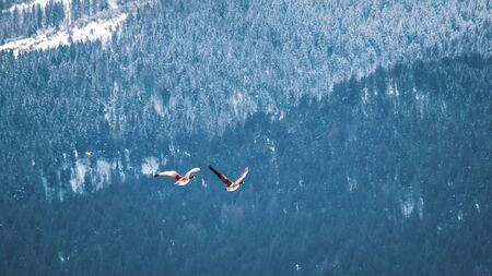 Geese mates fly next to a snow-covered mountainside in Winter.