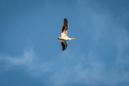 A pelican flying against a bright blue sky.