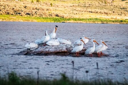 A flock of pelicans rest on a rock island offshore in the windy waters of the Alexander Reservoir during sunset.