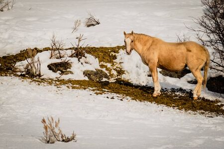 A yellow horse with a broken hoof, stands in it's own excrement on a snow-covered mountainside.