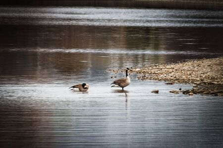 Mating geese take a moment to relax in shallow water along the rocky lake shore.