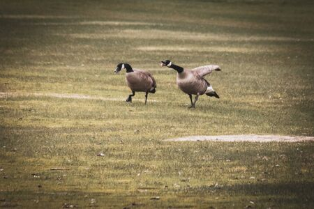 A goose is honking as he walks with his mate in the grass. It's a funny display, because he looks as if he is gagging with his tongue sticking out.