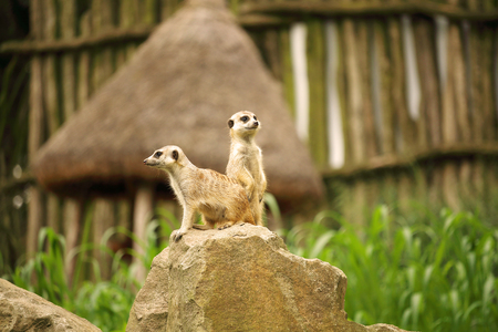 suricata: Pair of meerkat, also known as suricate, Suricata suricatta, carnivoran belonging to the mongoose family; sitting and standing on rock with defocused background