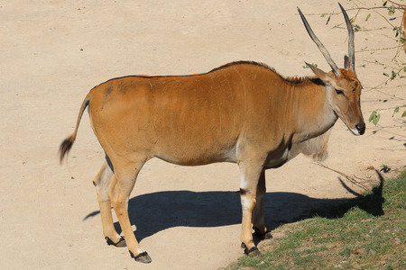 herbivores: East African oryx, also known as the beisa, species of antelope from East Africa; Common beisa oryx (Oryx beisa beisa)
