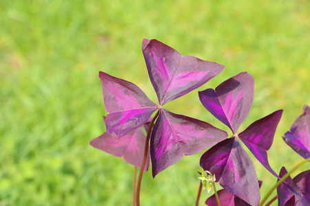 Detail photo of bright (vivid) leaf of Oxalis triangularis - also called false shamrock, love plant or purple shamrock, on defocused grass