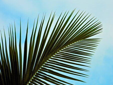 coconut leaf: coconut leaf Stock Photo