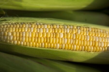 A cob of corn, with husk Stock Photo