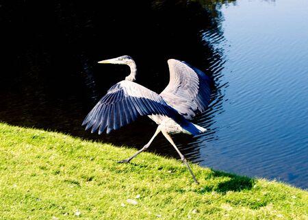 A Blue Heron preparing to take flight Stock Photo