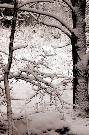 Wintery forest scenery on a snowy day Stock Photo