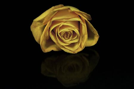 A yellow rose isolated on black, with a reflection Stock Photo
