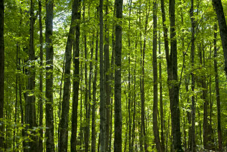 Trees rising in a forest, with deep green leaves