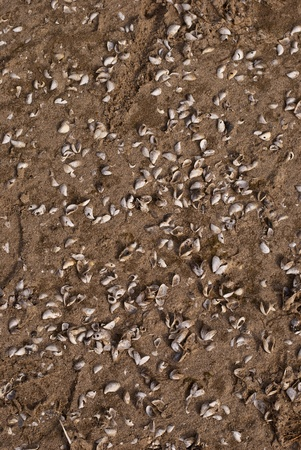 Various shells lie scattered on a brown sandy beach