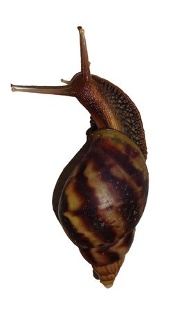 Isolate garden snail with white back ground