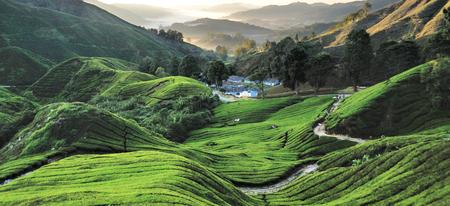 pahang: Tea Plantation, Cameron Highlands, Pahang, Malaysia.