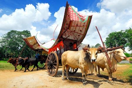 bullock: Bullock Cart Ride, Malacca, Malaysia.