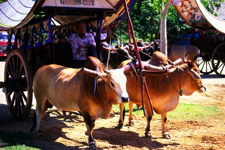 bullock: Bullock Cart, Malacca, Malaysia. Editorial