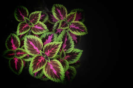 Solenostemon, commonly known as Coleus the most darkish pink coleus leaves,leafs as a beautiful wallpaper, closeup,Close up of Coleus leaves isolated with black background,copy space.