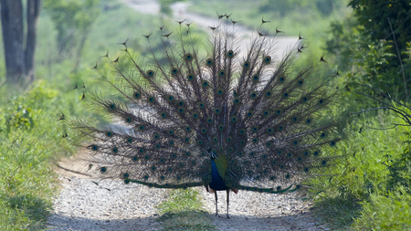 fantail: Peacock Fantail