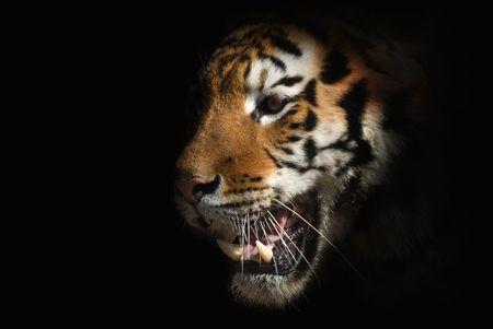 picture of tiger on a black background