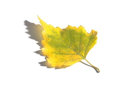 yellow autumn leaf on the white isolated background Stock Photo