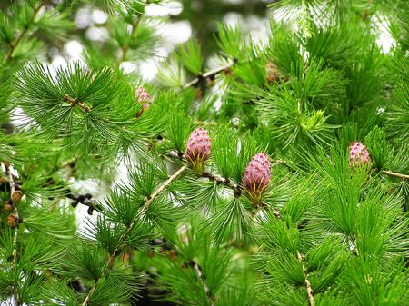 prickly plants with cones at natural illumination Stock Photo