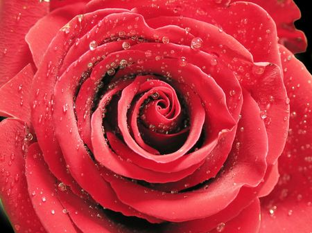 macro red rose with petals in form waves