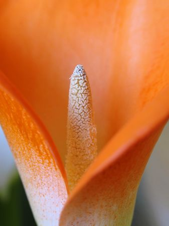 macro flower of cala on a colore background Stock Photo