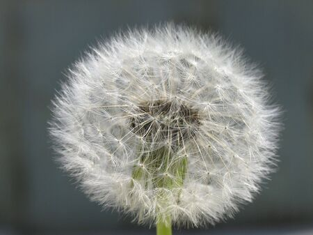 homogeneous: macro dandelion on the coloured homogeneous background Stock Photo