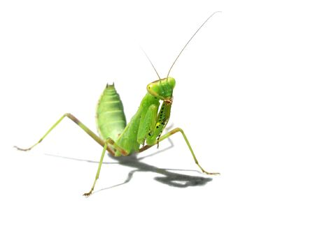 living green mantes on a light background