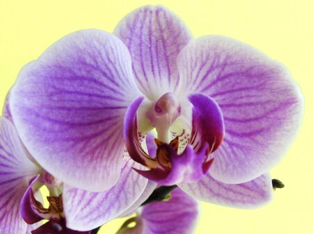 macro orchid of falinopsis on the coloured background
