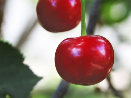 two berries of cherry on a branch on a background leaves Stock Photo