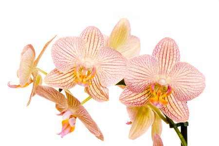 orchid of falinopsis on a light background