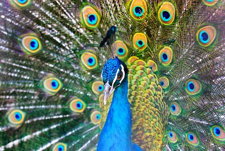 Beautiful male of peacock with a dissolute tail