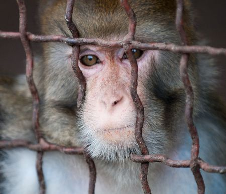 biped: a monkey writhing grimaces in the cage of zoo Stock Photo