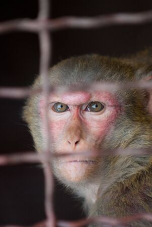 a monkey writhing grimaces in the cage of zoo Stock Photo