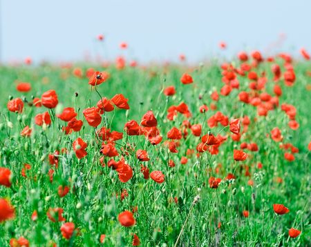 beautiful poppy field in a sun canicular day