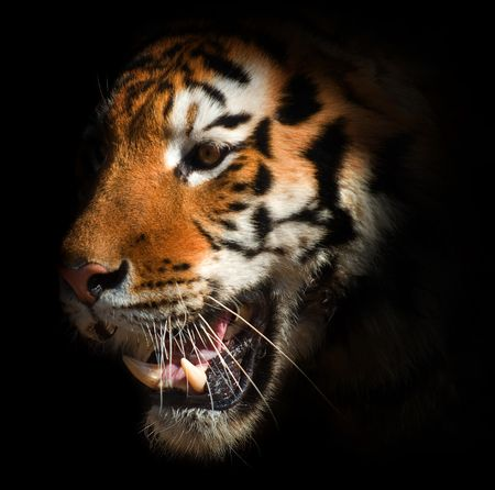 head of a tiger on a black background. symbol of the Chinese New Year Stock Photo - 5942806