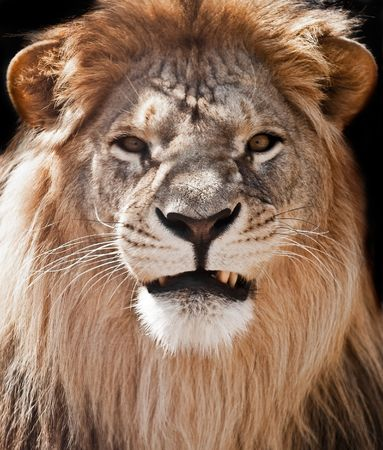 picture of lion of high-res with an artistic background
