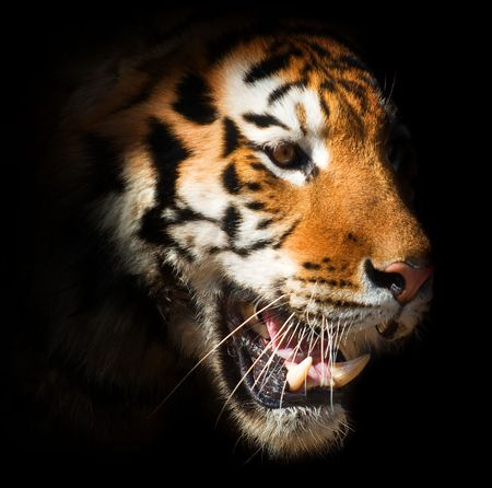 tiger eyes: head of a tiger on a black background. symbol of the Chinese New Year