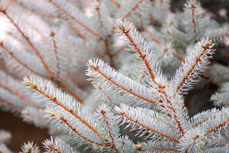 twiggy: beautiful branch of blue fir-tree as abstract christmas background Stock Photo