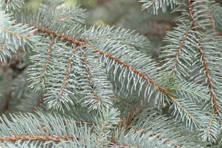 beautiful branch of blue fir-tree as abstract christmas background photo