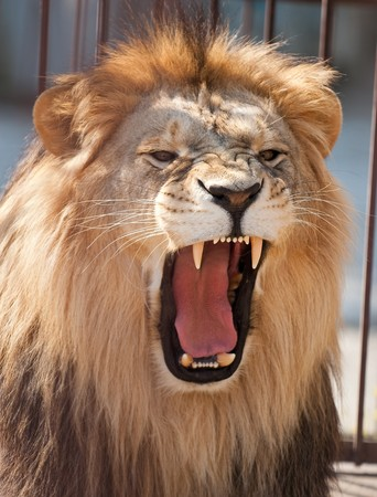 picture of lion of high-res with an artistic background Stock Photo - 6946799