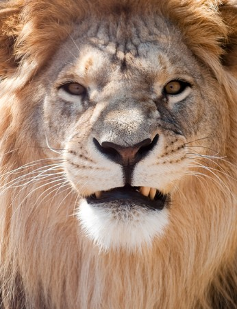lion face: picture of lion of high-res with an artistic background